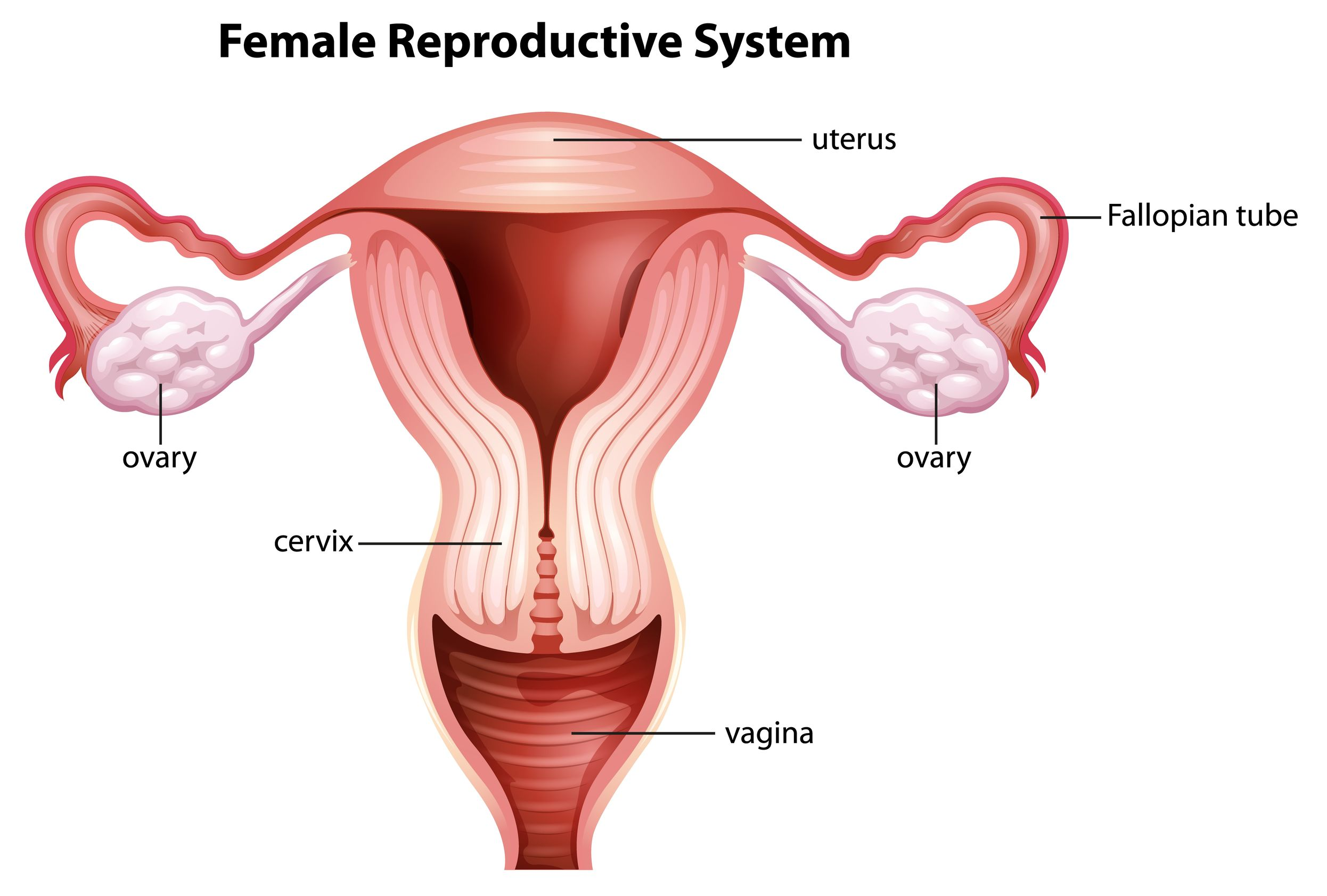 Female Reproductive System graphic